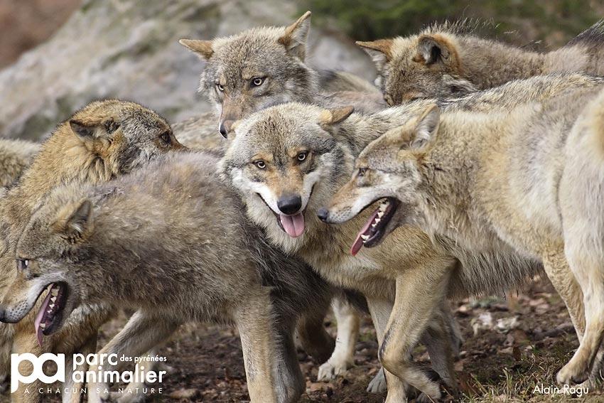 La cabane du trappeur dormir au milieu des loups au parc animalier des pyr - Dormir avec les loups en france ...